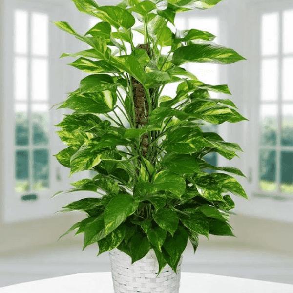 Ý nghĩa, cách trồng và chăm sóc trầu bà đế vương - ioicamp.net